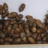 Mason Bee Cocoons