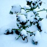 Broccoli unders snow